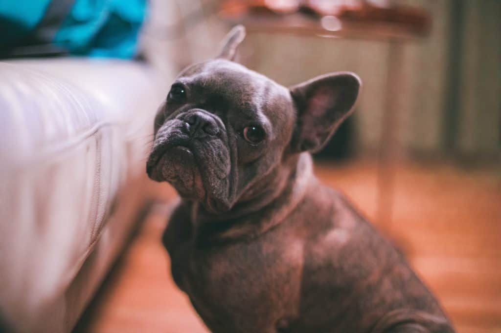 french bulldog waiting for