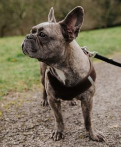 french bulldog standing outside