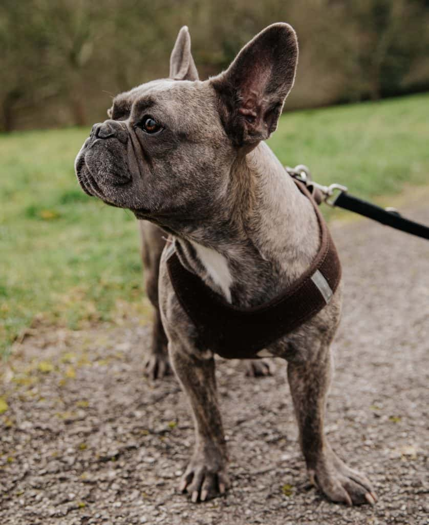 french bulldog standing outside