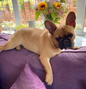 french bulldog on couch