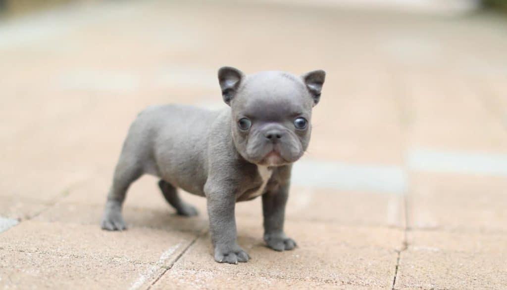 mini french bulldog puppy