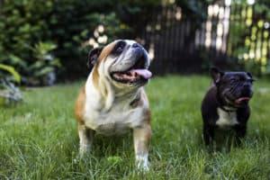 english bulldog and a French Bulldog