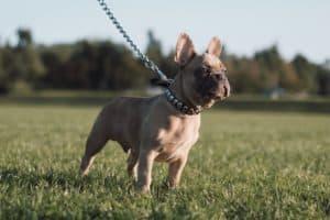 french bulldog in a field