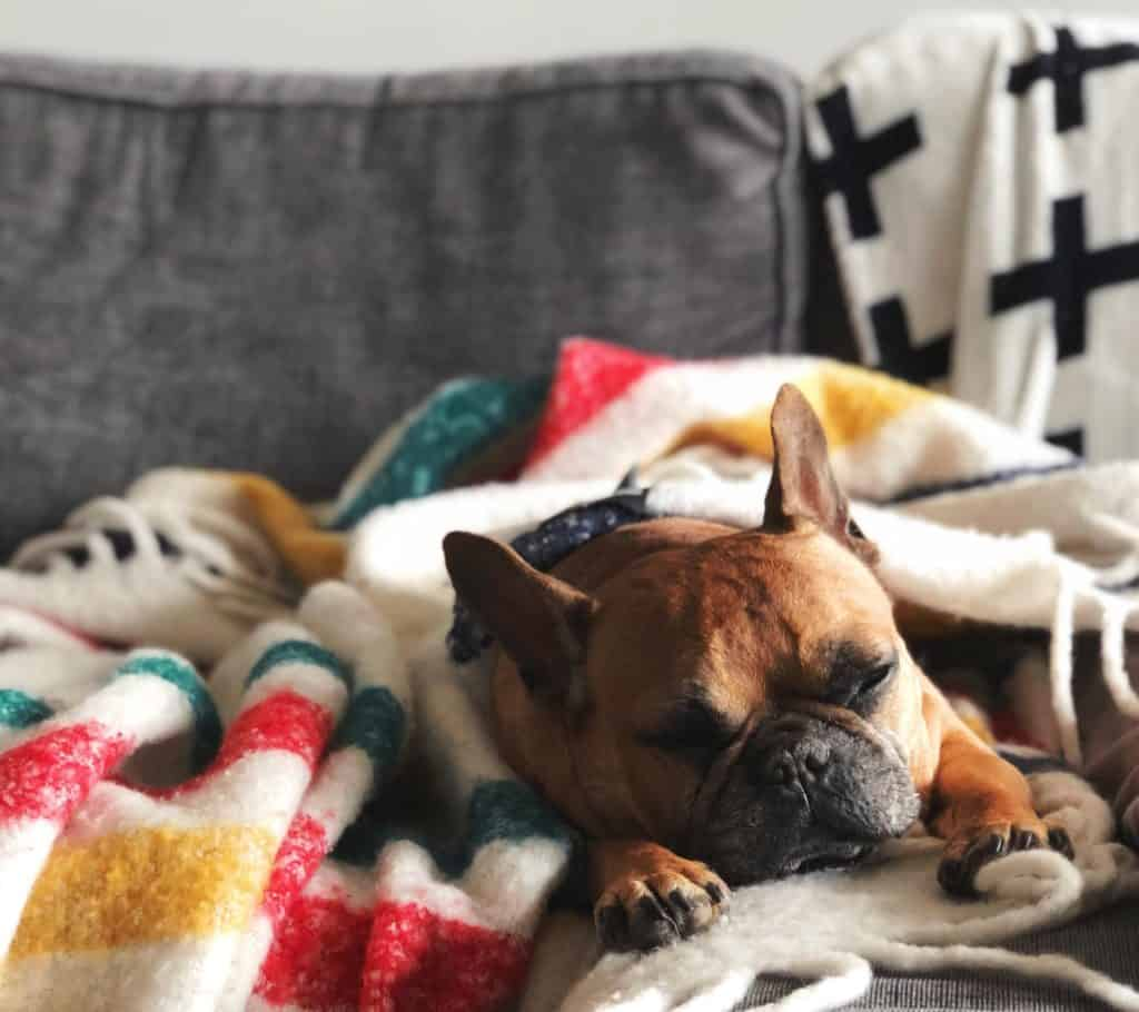 French Bulldog Sleeping on a couch