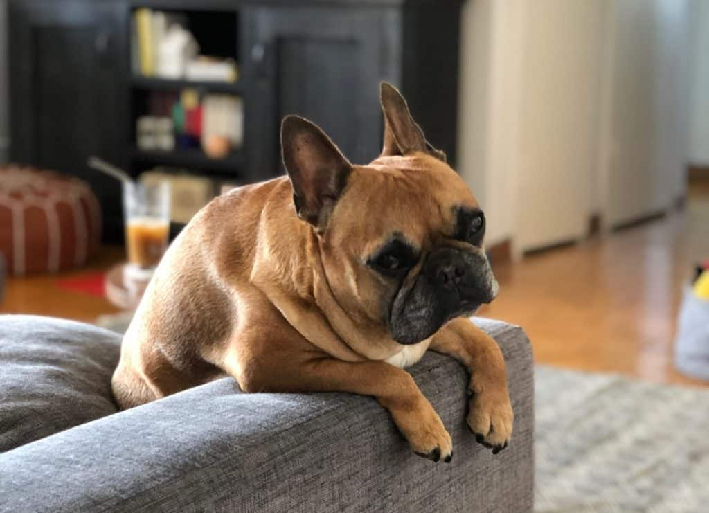 Frenchie on arm of chair
