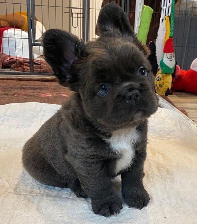 long hair french bulldog puppy