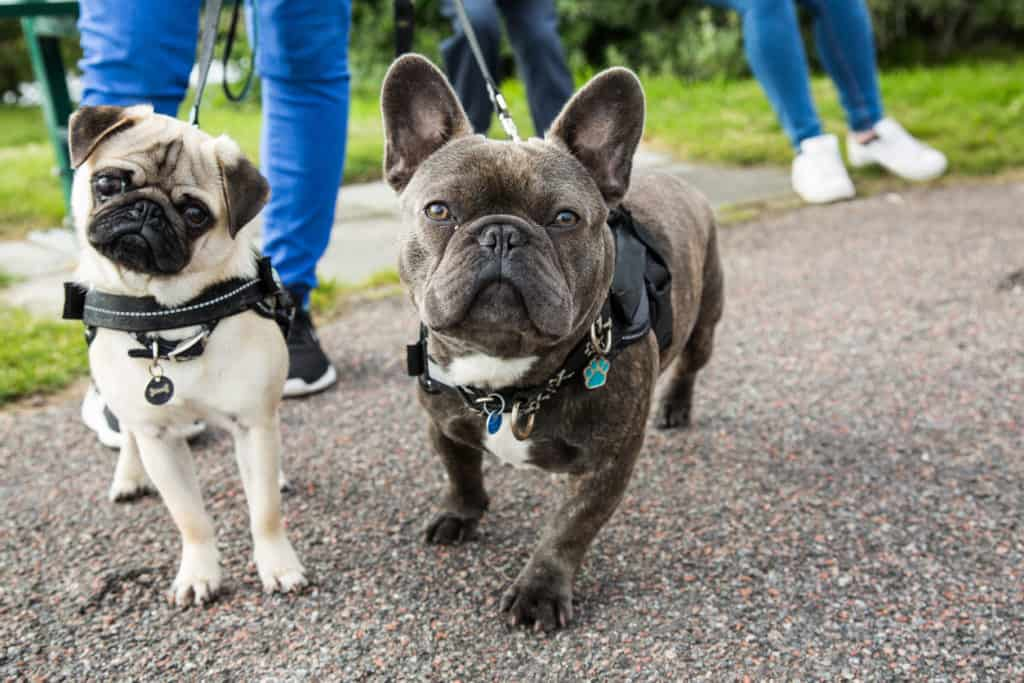 French bulldog and a pug