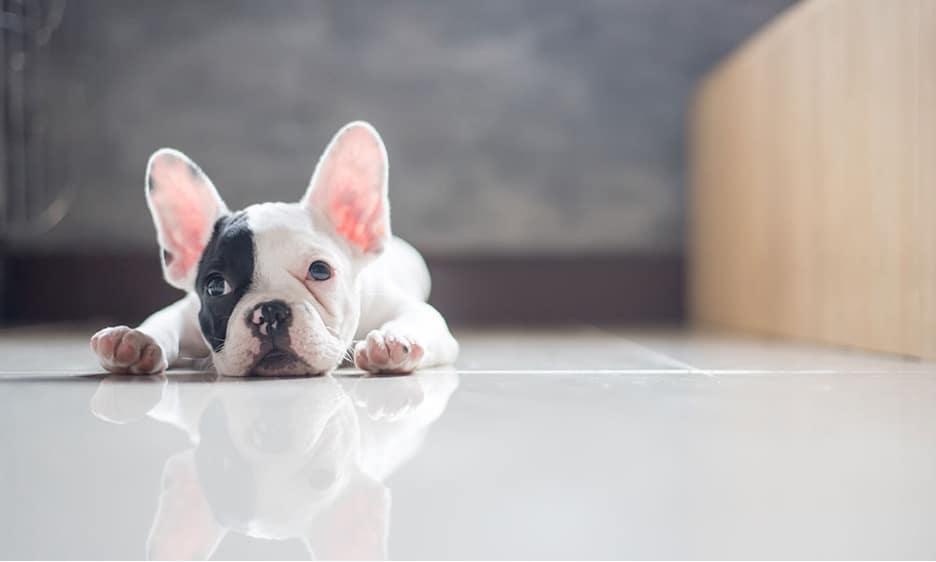 French Bulldog laying on floor