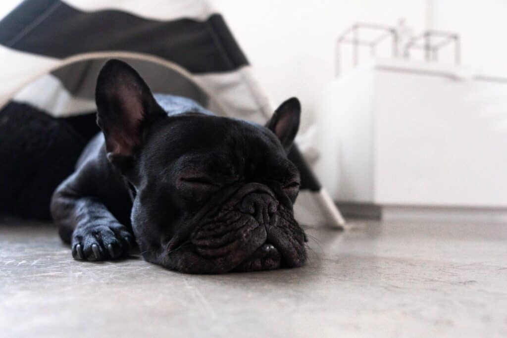 frenchie laying on floor