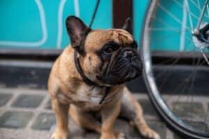 French bulldog by a bike