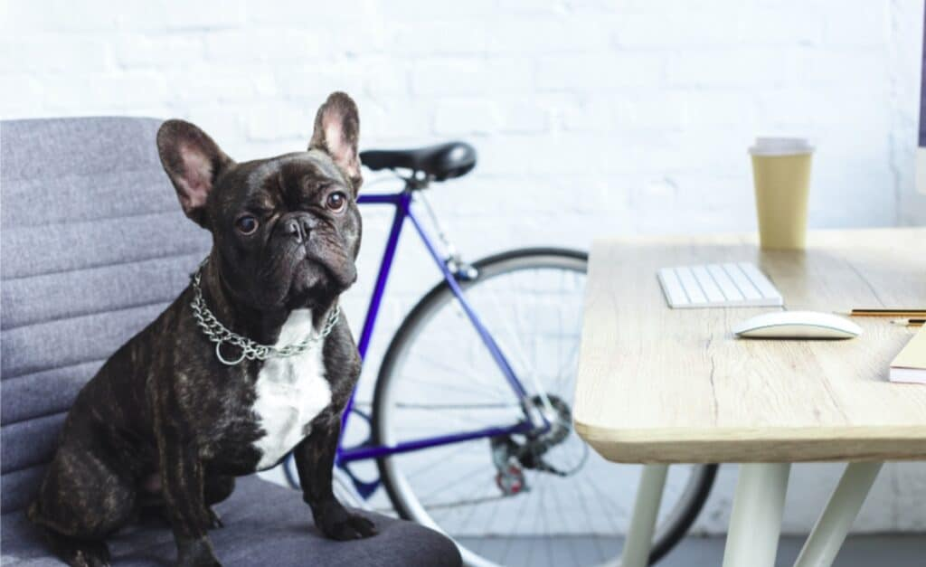Frenchie sitting in a chair