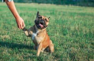 french bulldog handshake