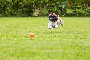 French bulldog chasing ball